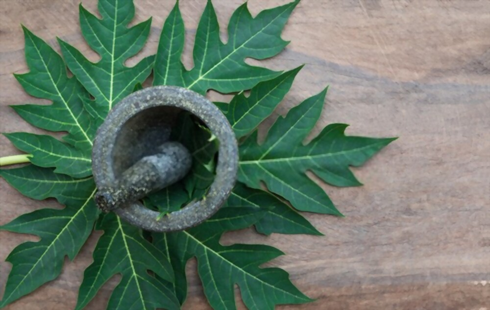Fasting Papaya Leaf Tea What's It Good For Benefits For Your Health And Beauty